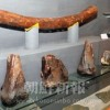 〈朝大・朝鮮自然博物館 5〉化石・「東アジアを轟かせたマンモス」