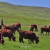 祖国の大地に「愛国牛」の群れ/岩手の在日同胞が贈った短角牛
