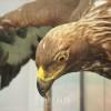 〈ようこそ!朝大・朝鮮自然ミュージアム 26〉イヌワシ