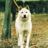 国犬、天然記念物に指定/豊山犬