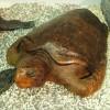 〈ようこそ!朝大・朝鮮自然ミュージアム 58〉アカウミガメ