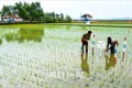 朝鮮で田植えが終結/90%以上の農場で