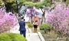 春爛漫の平壌/アンズ、レンギョウが咲き誇り