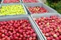 早生の果物生産計画が完了/味と品質改善