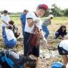 크게 자란 고구마에 환성/이바라기초중고 학생들이 가을걷이