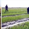 조선의 농촌들에서 모내기 시작/심각한 가물, 물확보대책 세우며