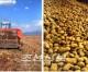 량강도에서 감자수확 시작/력량과 기계수단을 총동원