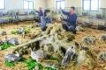 조선에서 토끼기르기 대대적으로 전개/전국의 종축장과 협동농장들에서