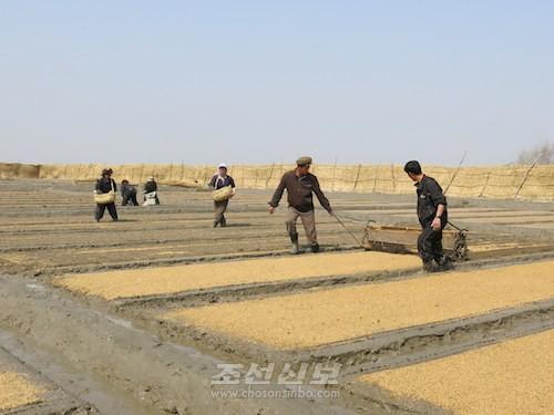 열두삼천농장 씨뿌리기작업(평양지국)