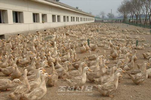 두단오리공장에서 생산되는 많은 오리들